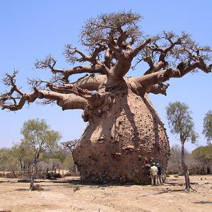 Baobab drevo