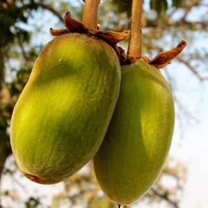 Baobab sadež