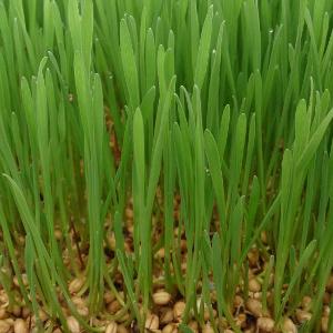 Pšenična trava vzgoja